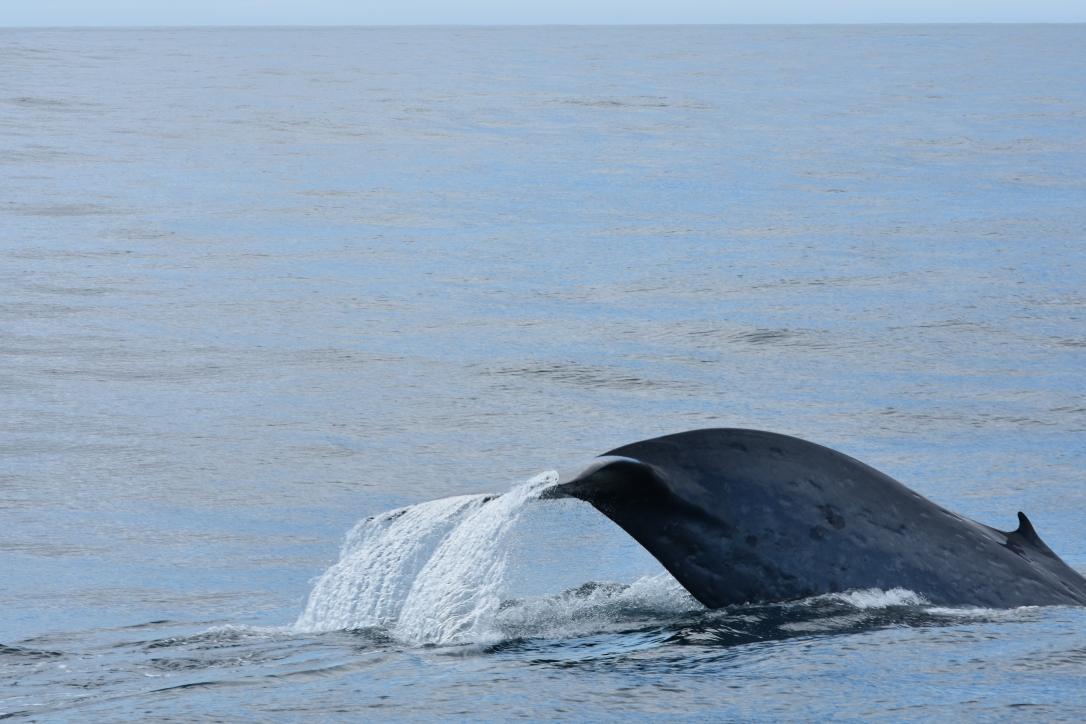 Akelarre_Blue whale2